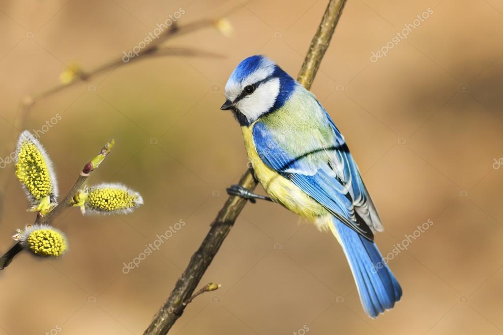 Звуки природы. Пение птиц большая синица звуки птиц. Youtube.