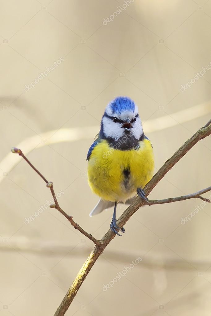 Bird Blue Tit Sings The Song In The Spring On A Branch Of Blossoming Pussy  Willow Fluffy U2014 Photo By Nataba16
