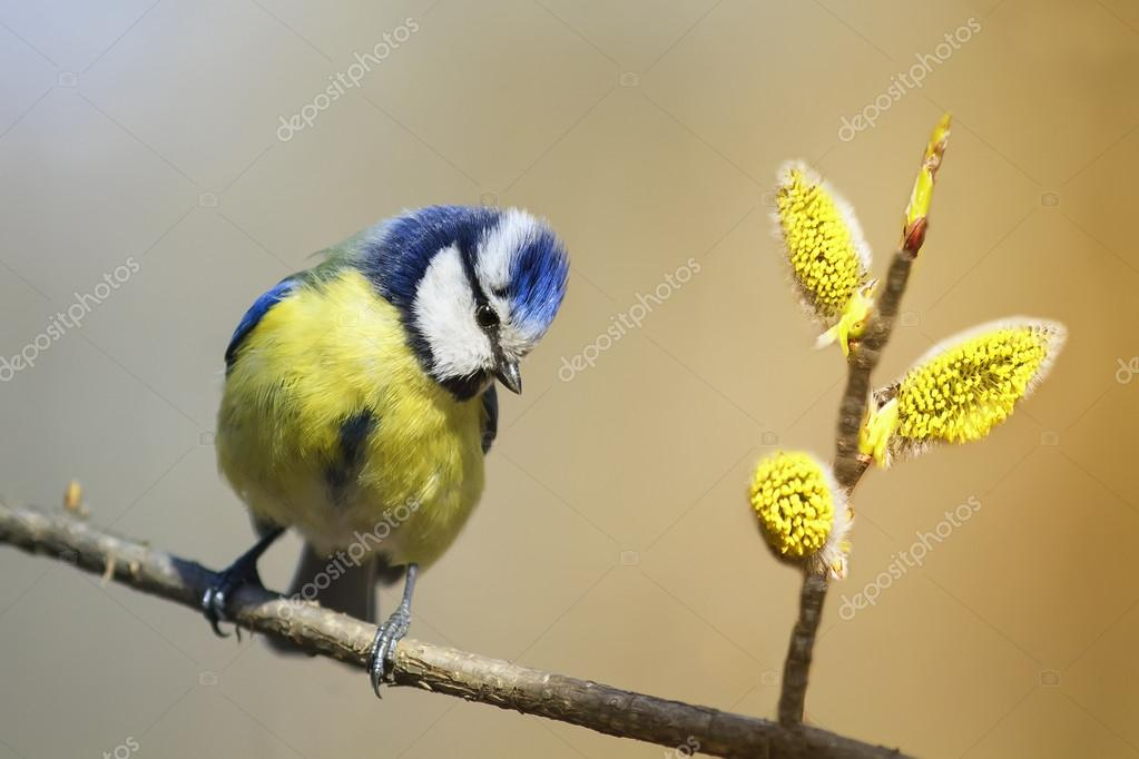 Lovely Bird Blue Tit Sings The Song In The Spring On A Branch Of Blossoming Pussy  Willow Fluffy U2014 Photo By Nataba16 Photo