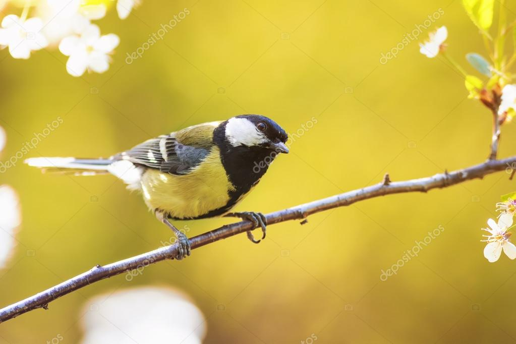 The Bird Sings The Song Sitting On Blossoming Apple Tree Branch In Spring  Garden U2014 Stock Nice Ideas