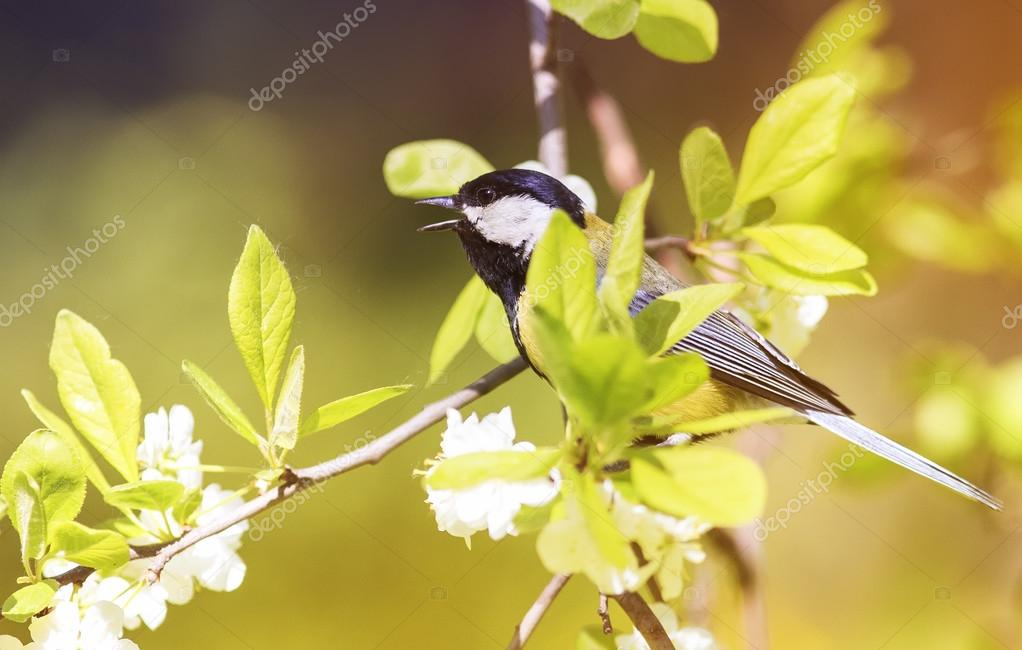 Wonderful The Bird Sings The Song Sitting On Blossoming Apple Tree Branch In Spring  Garden U2014 Stock Design Ideas
