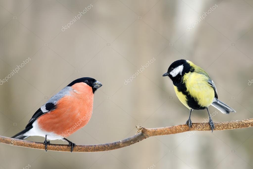 Gil Czerwony I żółty Ptak Na Gałęzi Zdjęcie Stockowe Nataba16