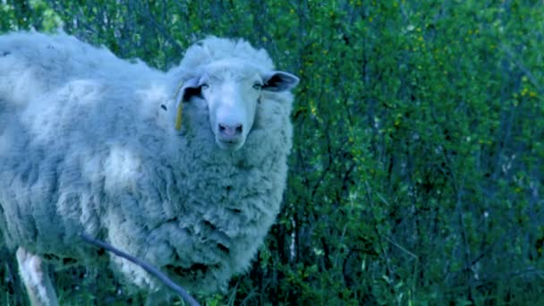 Lamm steht auf der Wiese und gähnt