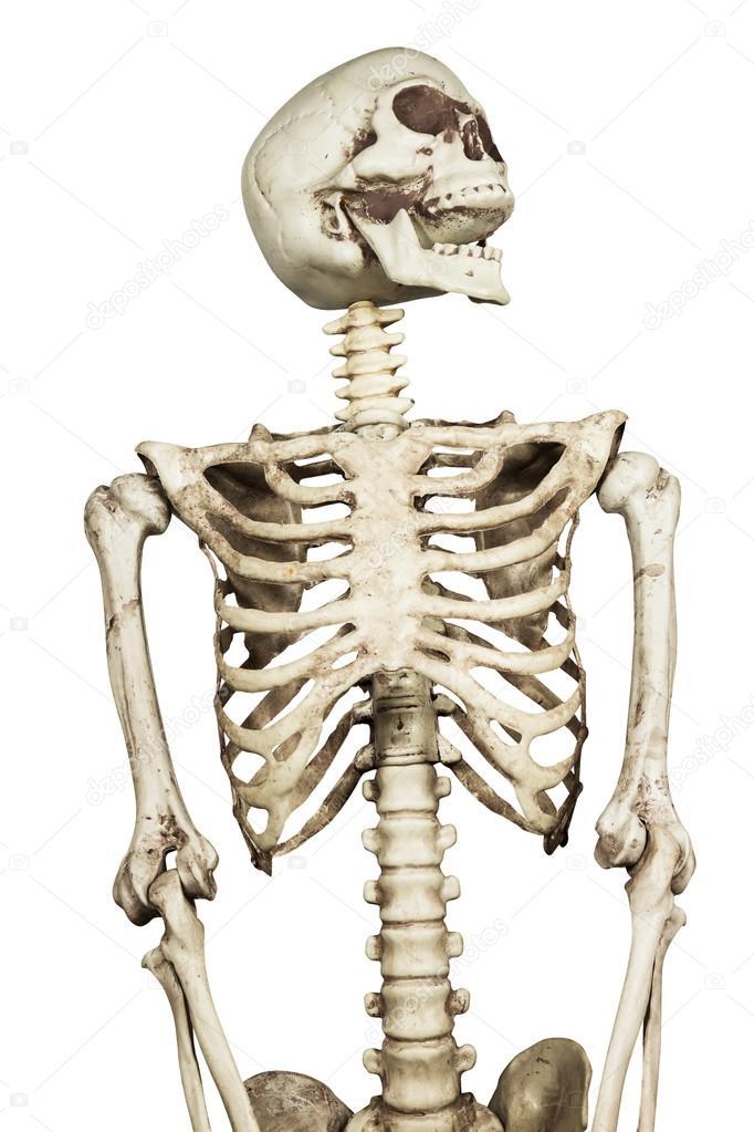 Modell des menschlichen Skeletts auf weißem Hintergrund include-Pfad ...