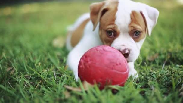 Krásný pes s červenou kouli na trávě