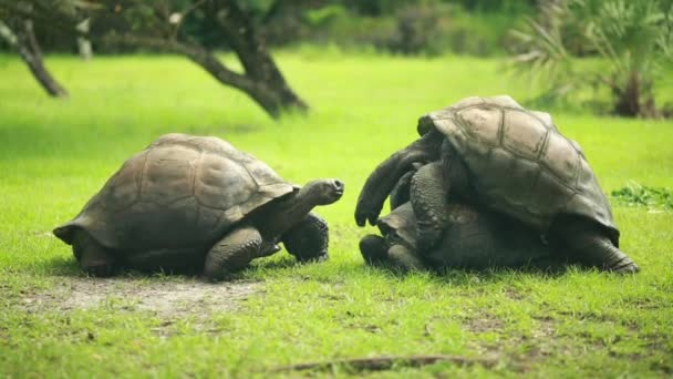 Three big turtles in the grass, two of them are mating
