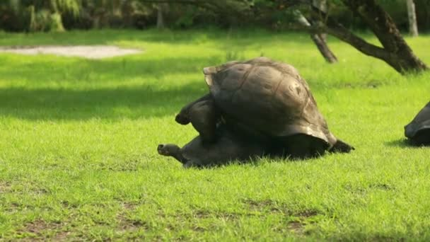 Two turtles mating in the grass