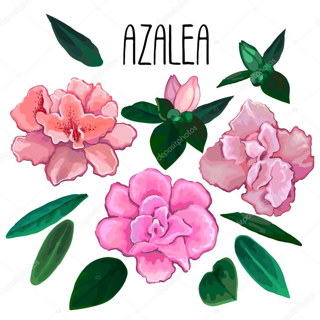 Azalea leaves and flowers collection