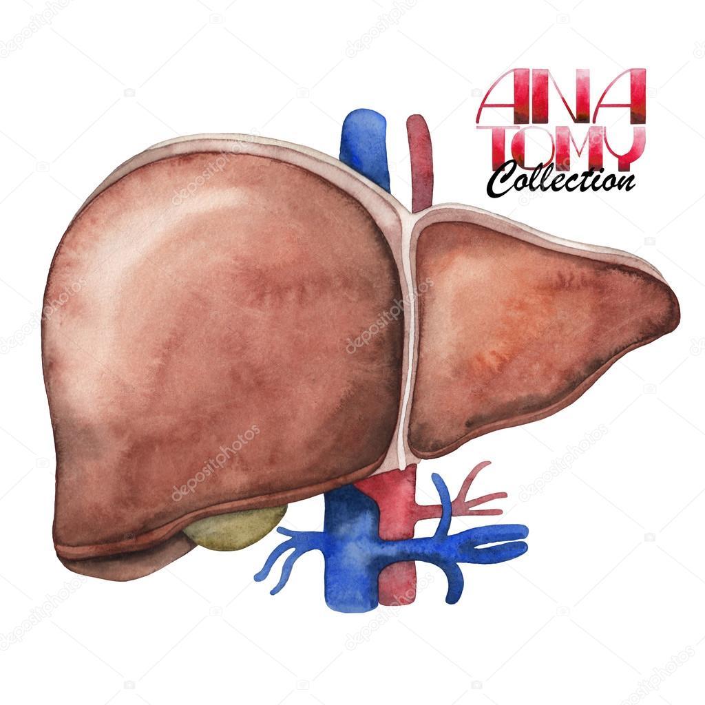 Colección de anatomía acuarela - hígado — Fotos de Stock ...