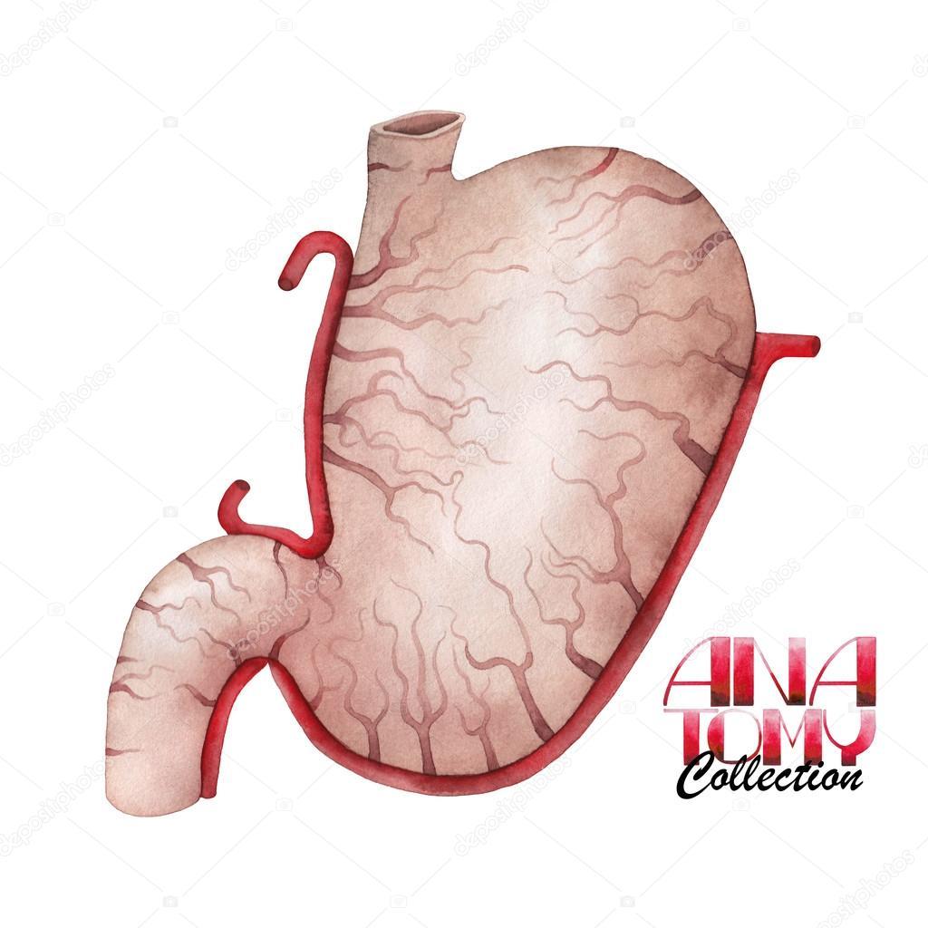 Colección de anatomía acuarela - estómago — Fotos de Stock ...