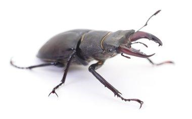 Black Stag Beetle.