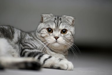 Scottish fold cat lies on a carpet and looking serious
