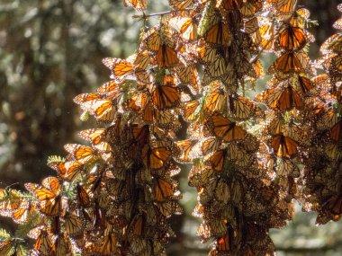 Monarch Butterflies on tree trunk