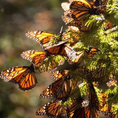 Monarch Butterflies on tree branch