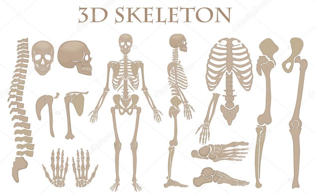 Human Bones 3d Realistic Vector Skeleton Silhouette Collection Set