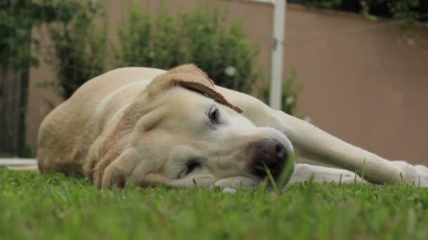 Beautiful labrador relaxing