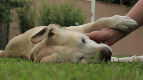 Beautiful labrador receives affection