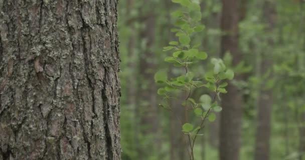 mladý strom kymácí ve větru v lese