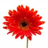 Fotografie květina červená gerbera