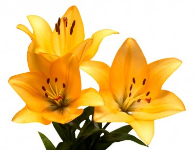 Bouquet of yellow lilies isolated on white background stock vector