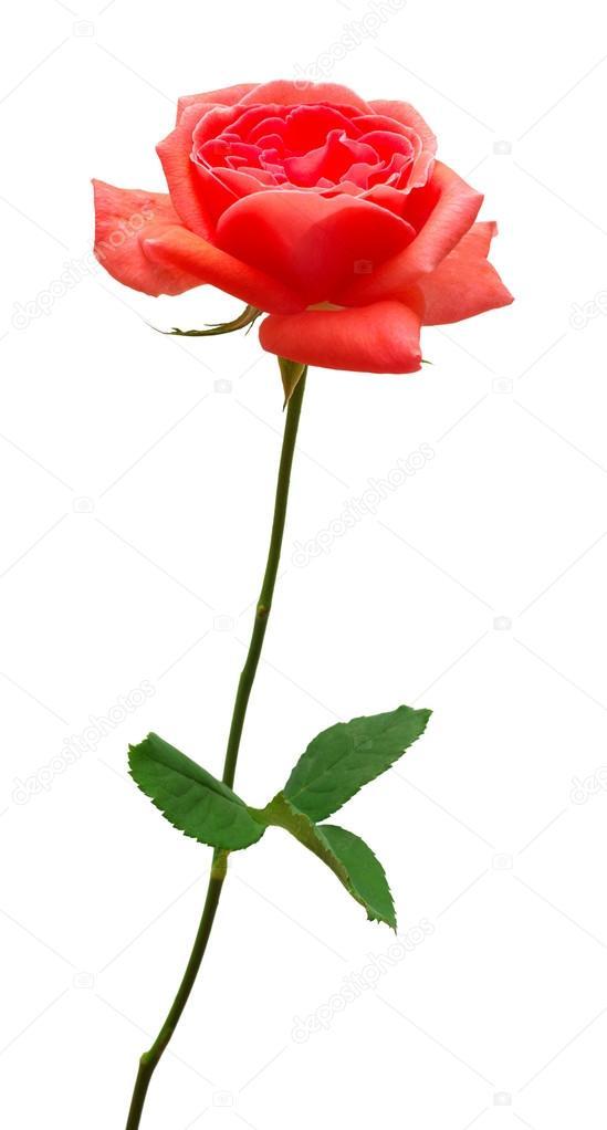 rosa roja flor hermosa foto de stock flowerstudio 123351626