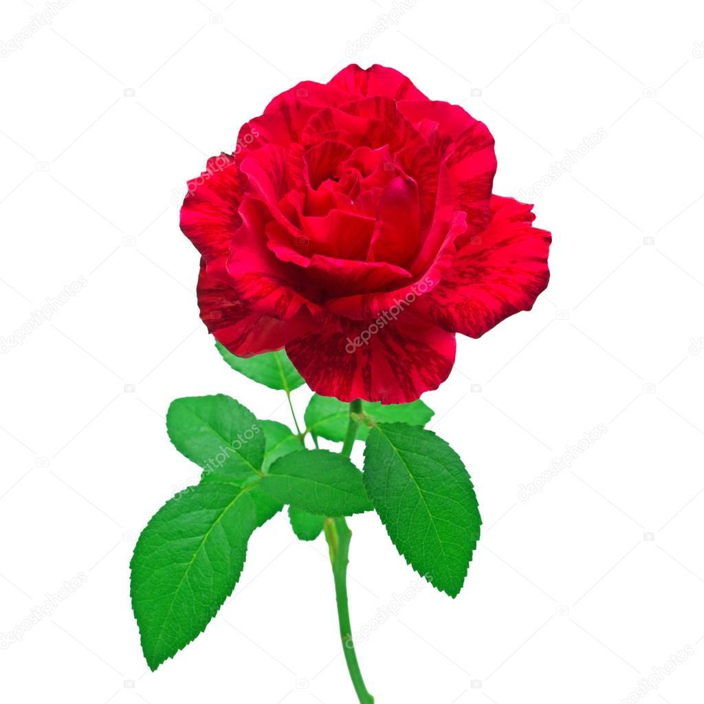 Belle Fleur Rose Rouge Photographie Flowerstudio C 123351740