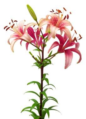 Beautiful pink lilies