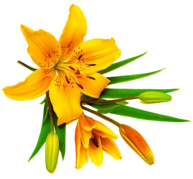 Yellow lily flowers with buds isolated on a white background stock vector