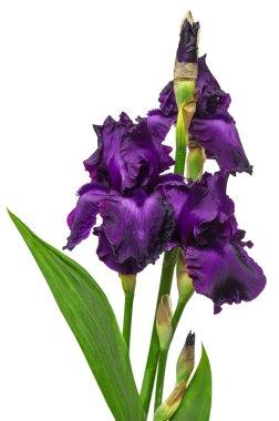 Blooming iris flowers