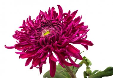Dark maroon chrysanthemum flower