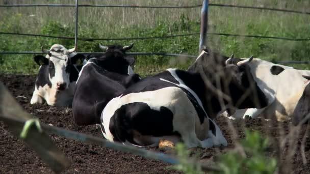 Stádo krav na farmě