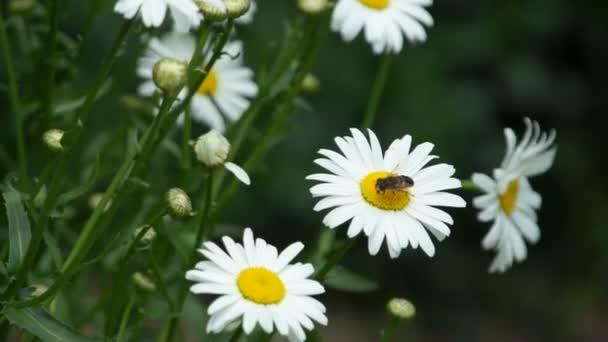 Heřmánek květ s hmyz létat nad
