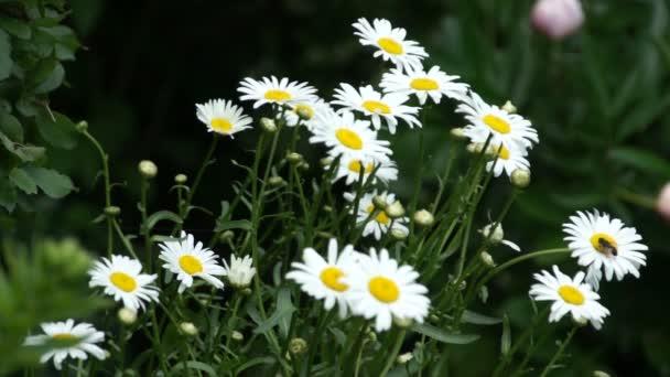camomile flower bloom in garden