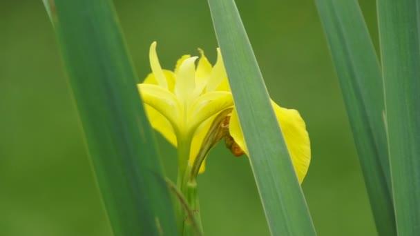 Yellow Iris bloom in grass close-up