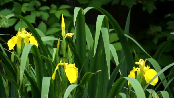 Sárga írisz virág virágzik, zöld fűben