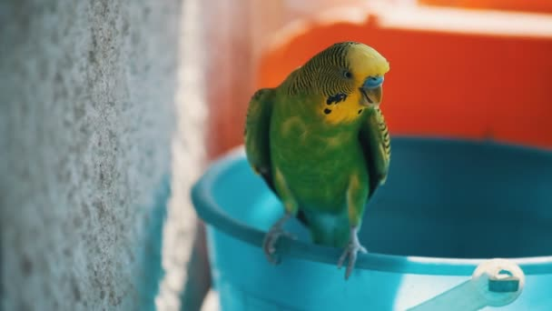 Home budgerigar closeup sitting on a bucket and chirps