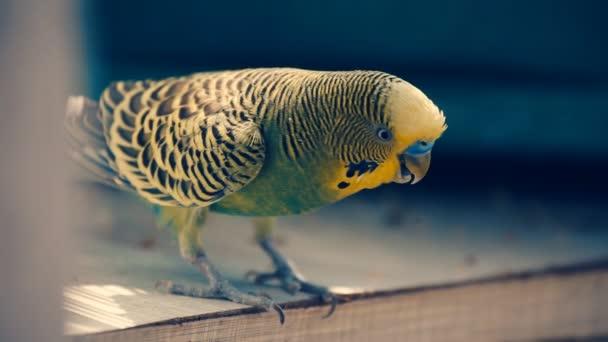 closeup papoušek Papoušek vlnitý
