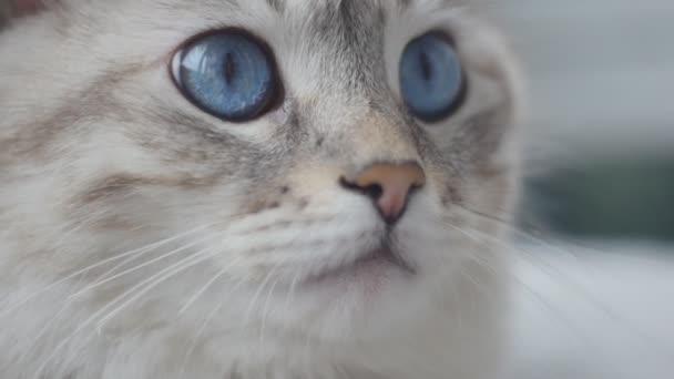 zblízka bílá kočka s modrýma očima. Pomalý pohyb.