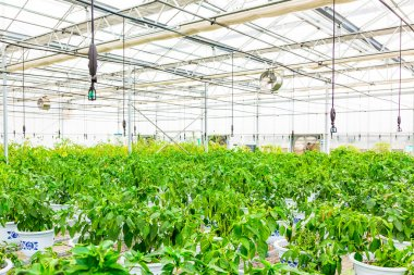 cultivation of lettuce in a greenhouse