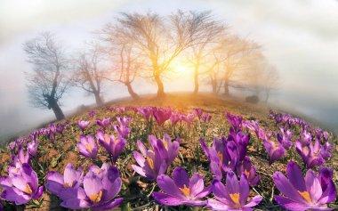 spring flowers crocuses