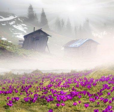 spring flowers crocuses in foggy morning