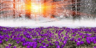 spring flowers crocuses in mountains