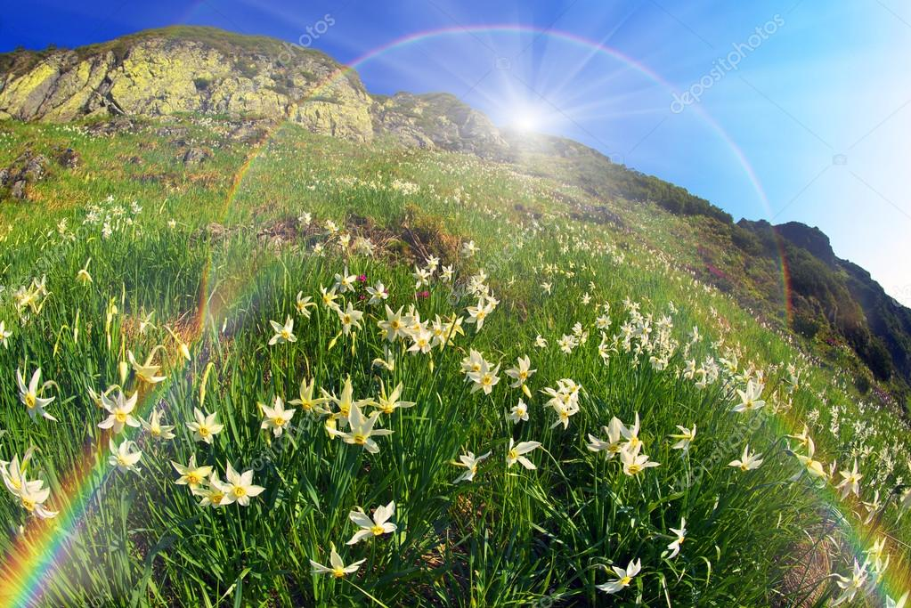 blooming daffodils in mountains