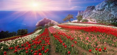 Tulips in Crimea at Sunrise