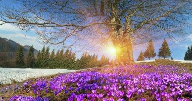 spring flowers crocuses in Carpathians