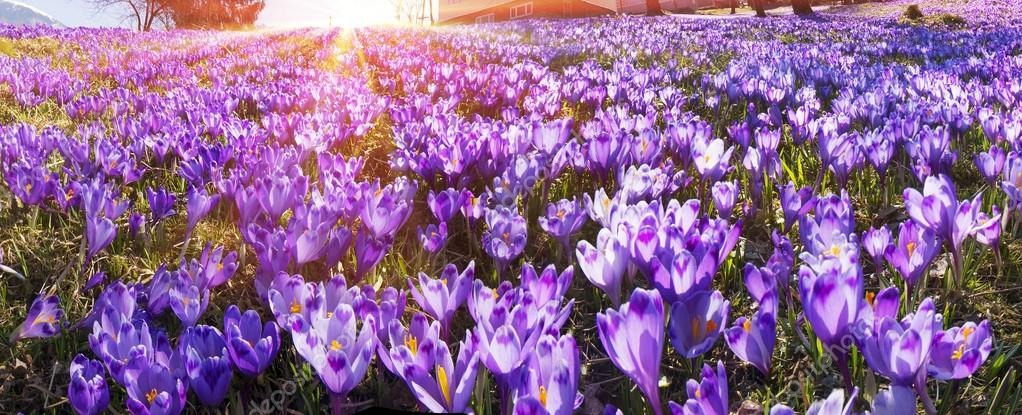 https://st2.depositphotos.com/6101406/9048/i/950/depositphotos_90483088-stock-photo-spring-flowers-crocuses.jpg