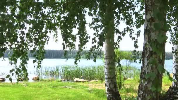 březový les na břehu jezera