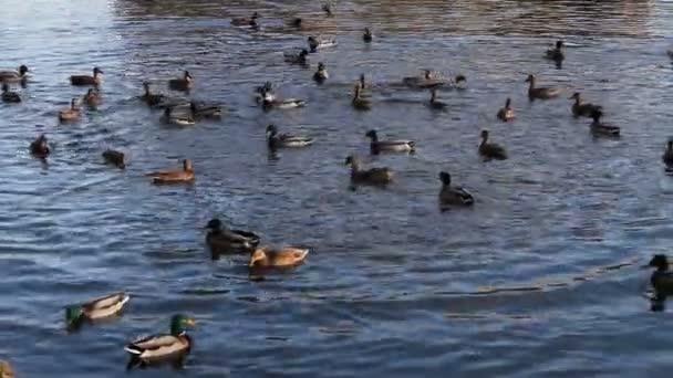 ducks swimming in the river