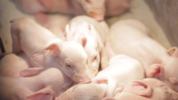 Ferkel auf einem Schweinemastbetrieb