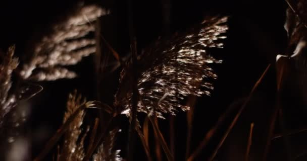 Reed closeup silhouettes swaying in the wind above dark night background.